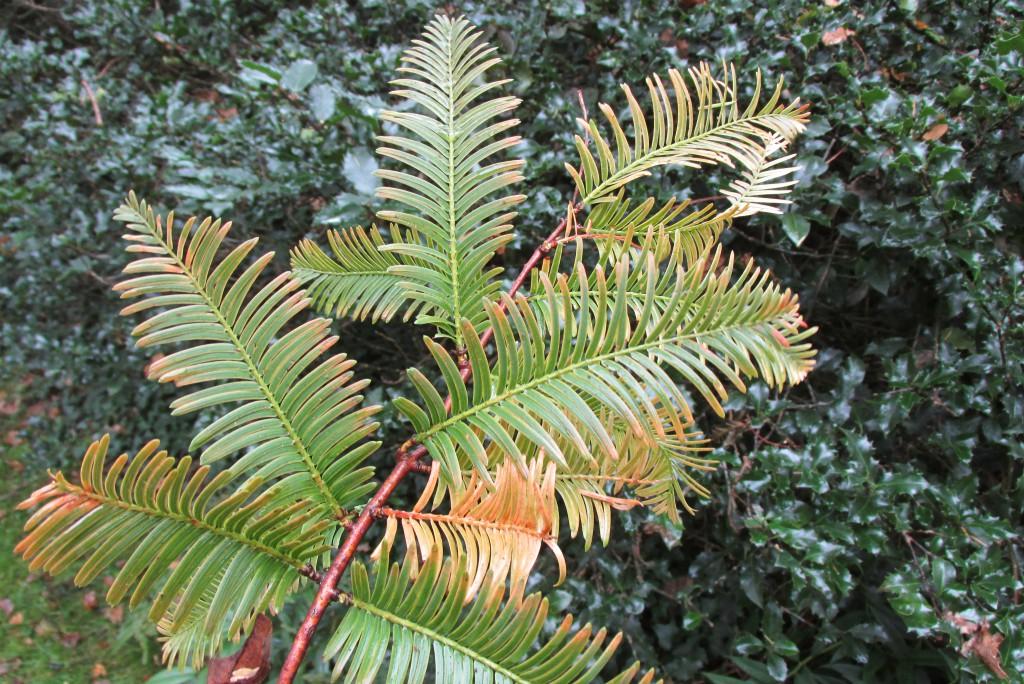 Metasequoia glyptostroboides loof