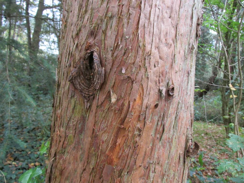 Metasequoia glyptostroboides stam