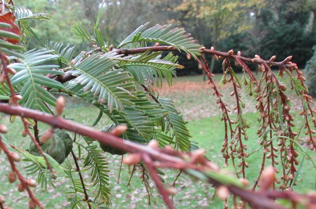 Metasequoia glyptostroboides vruchten bloeiwijze