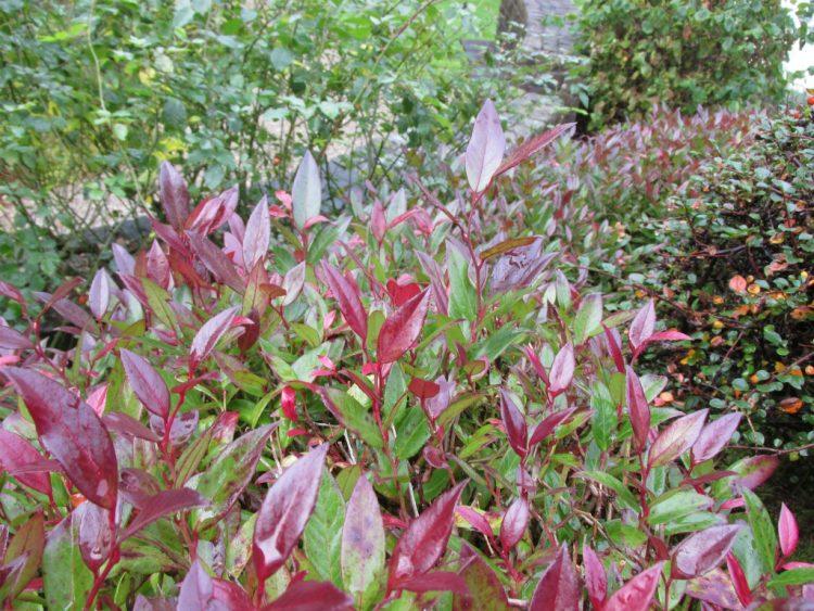 Leucothoe scarletta: waardevol in de winter