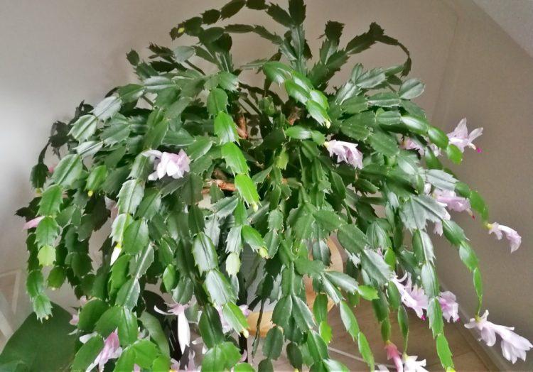 Lidcactus (Schlumbergera): ouderwets en opnieuw populair