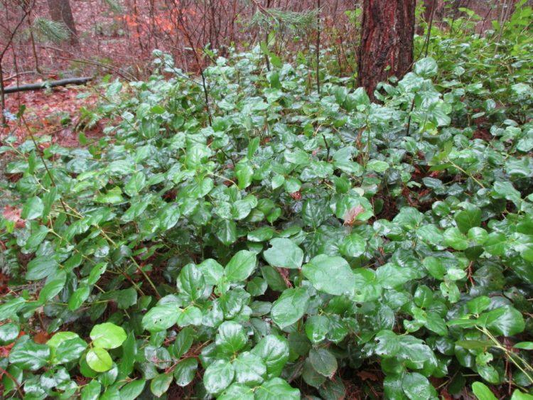 Appelblad (Gaultheria shallon): perfect voor een boeket