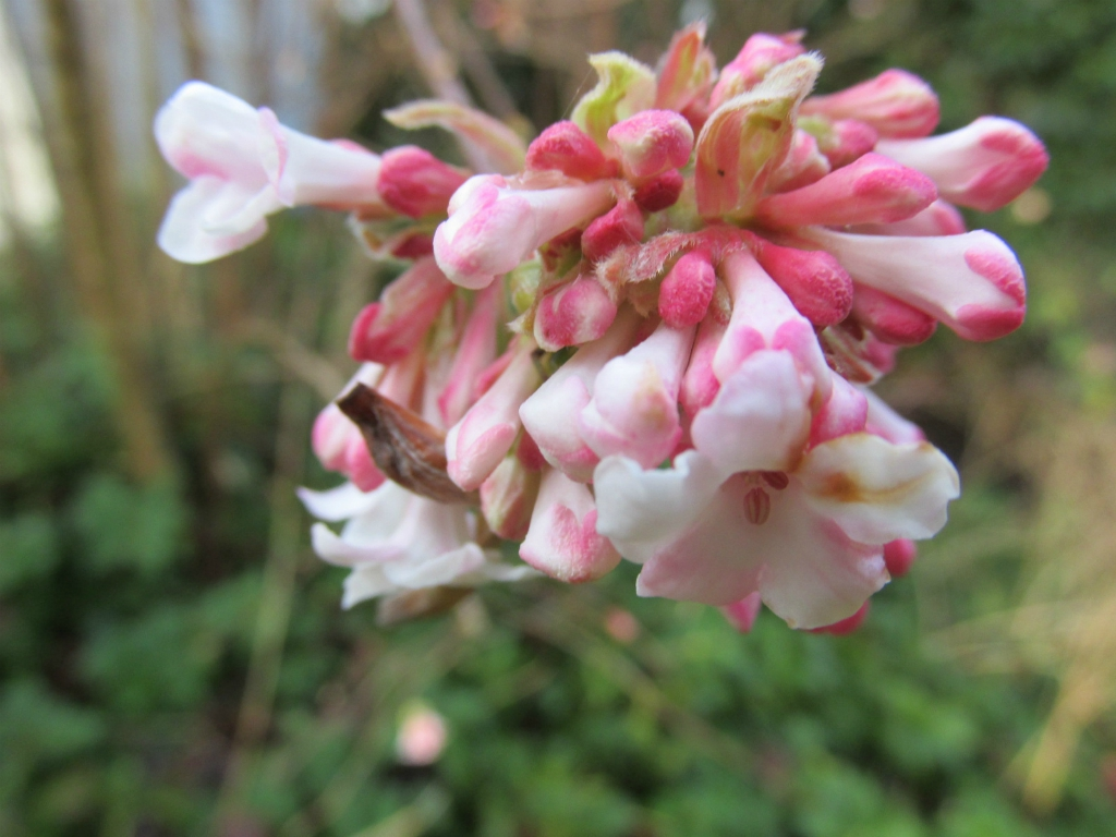 viburnum bodnantense bloeien januari