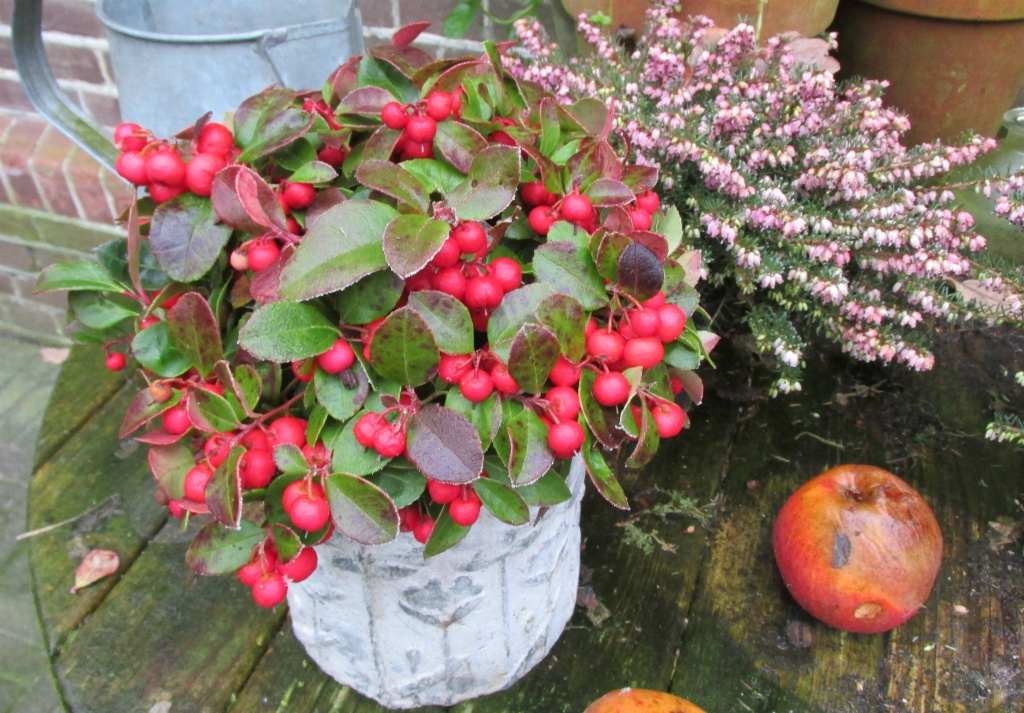 winter balkon gaultheria bergthee
