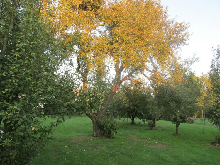 Een appelboom snoeien in 3 stappen