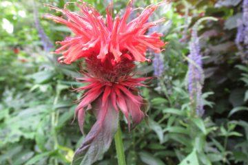 monarda gardenview scarlett