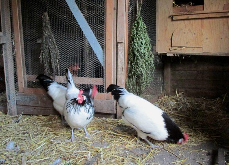 Varens tegen luis in het kippenhok