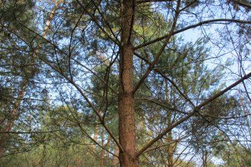 douglas leeftijd naaldbomen
