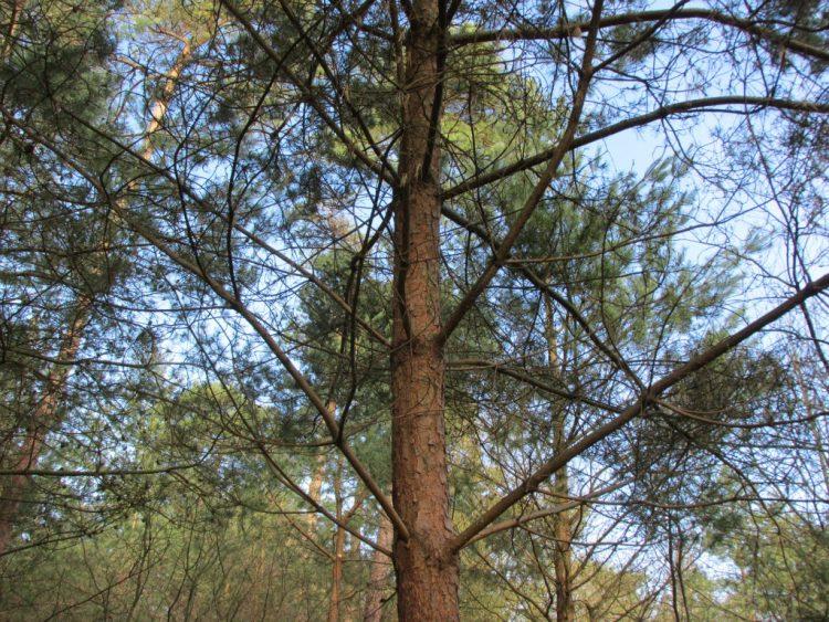 Simpel trucje: de leeftijd van jonge naaldbomen bepalen
