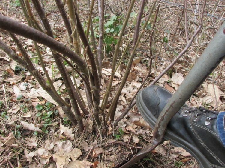 Een heester verplanten: zo doe je dat
