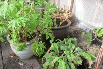 kuipplanten verpotten voorjaar