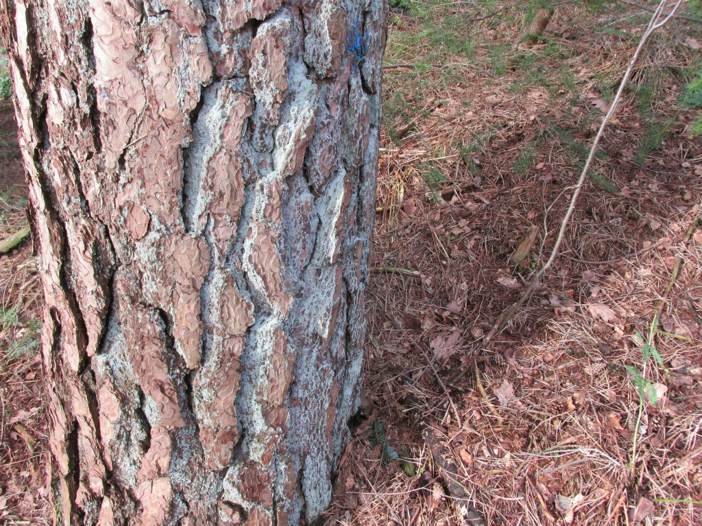 naaldbomen leeftijd stam