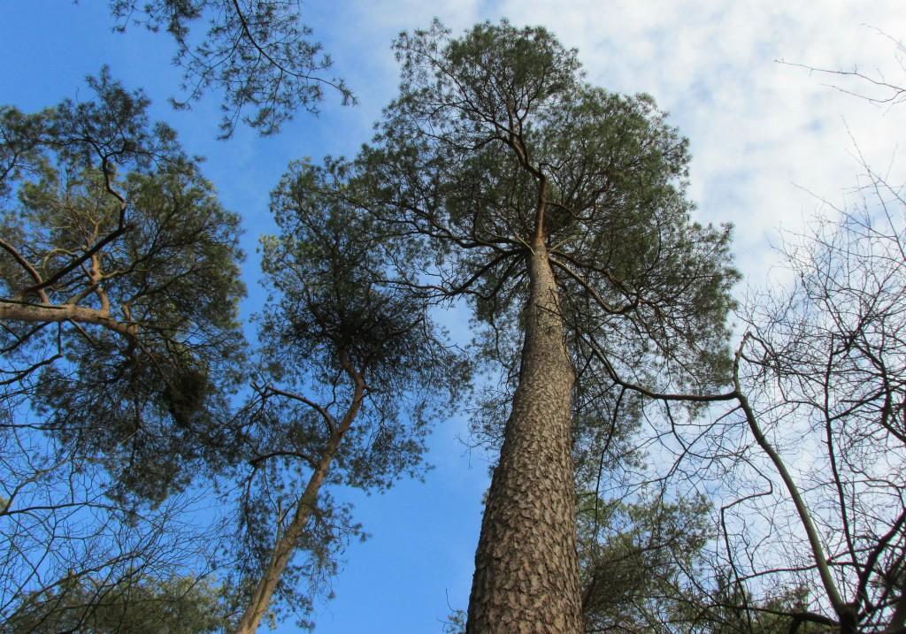 naaldbomen leeftijd