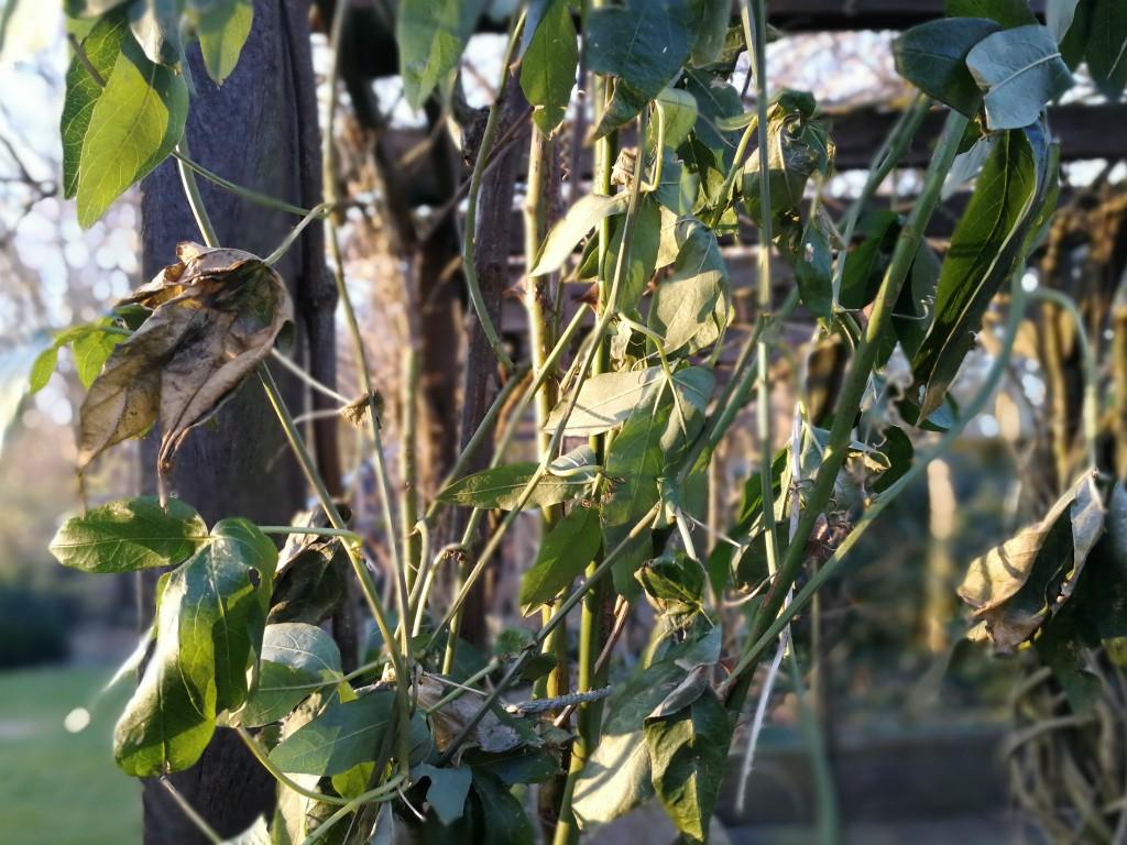passiflora winter