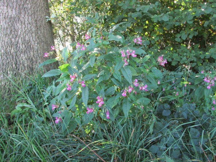 Invasieve exoten: springbalsemien