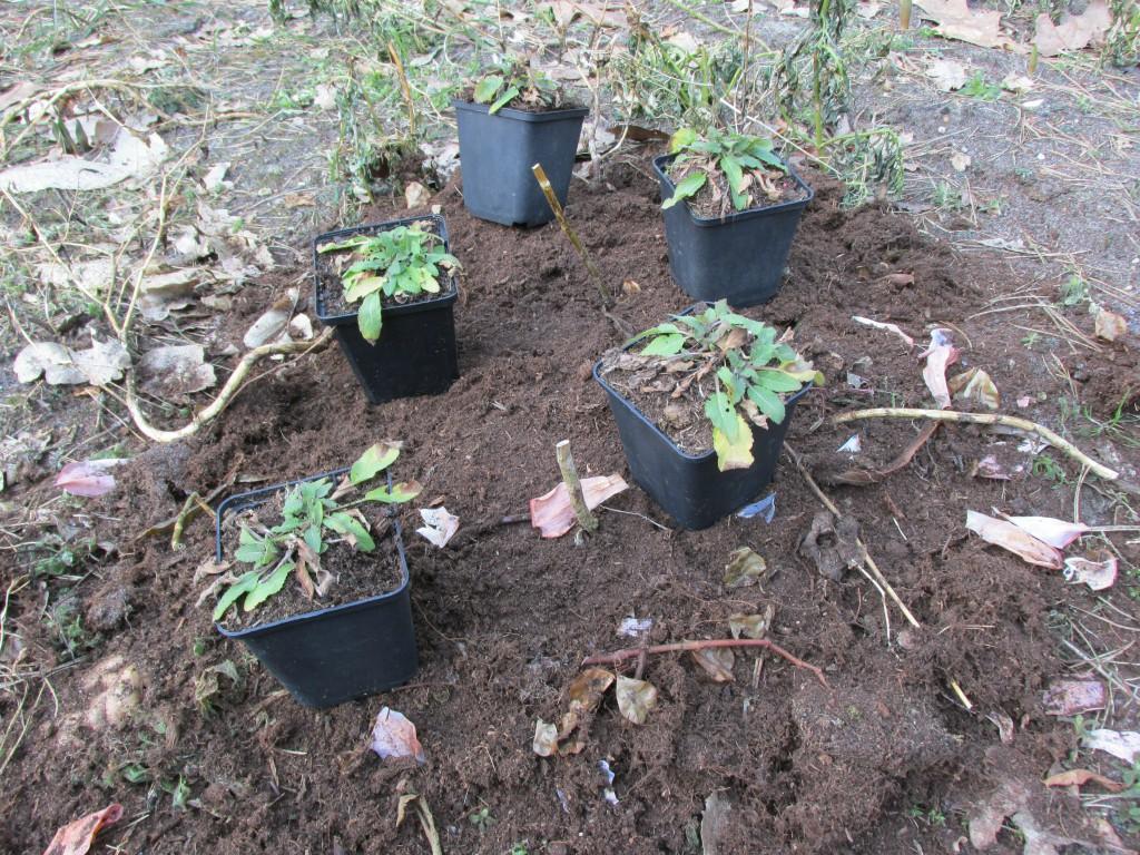 vaste planten uitplanten in border