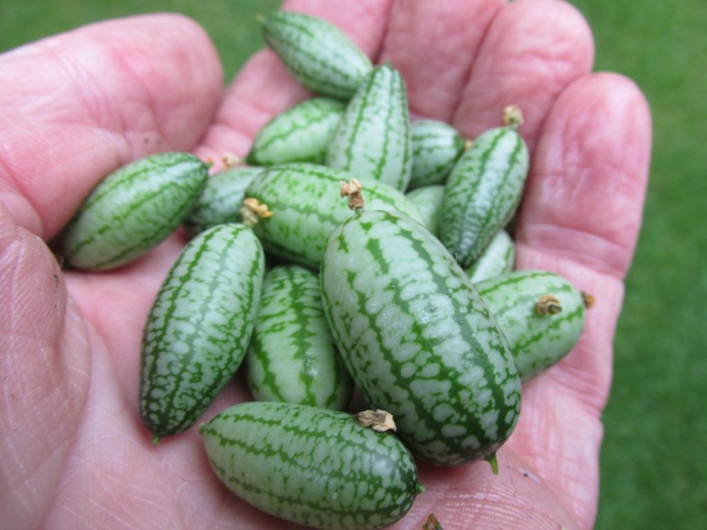 mexicaanse komkommer cucamelon muismeloen