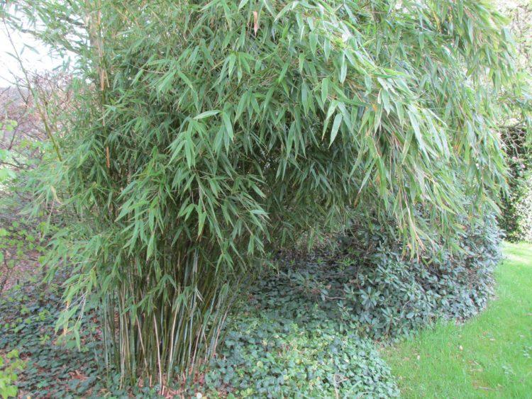 Alles wat je moet weten over de verzorging van bamboe