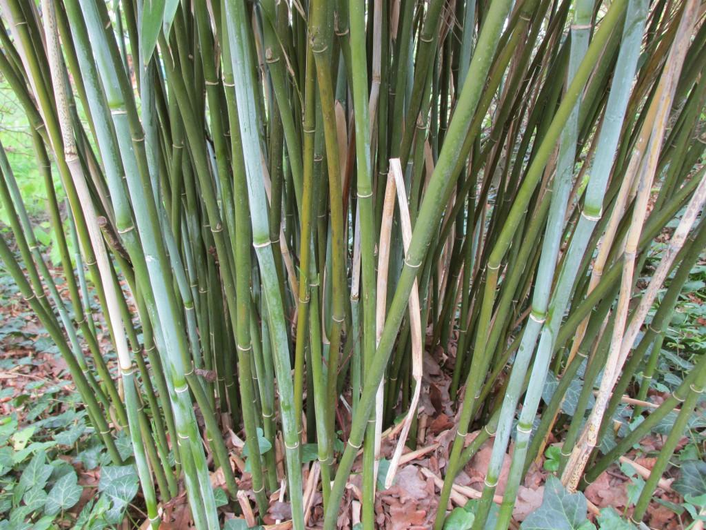 bamboe - stengels