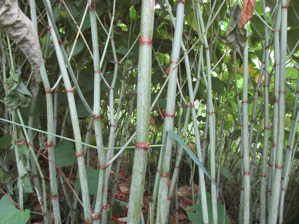 Japanse duizendknoop stengels
