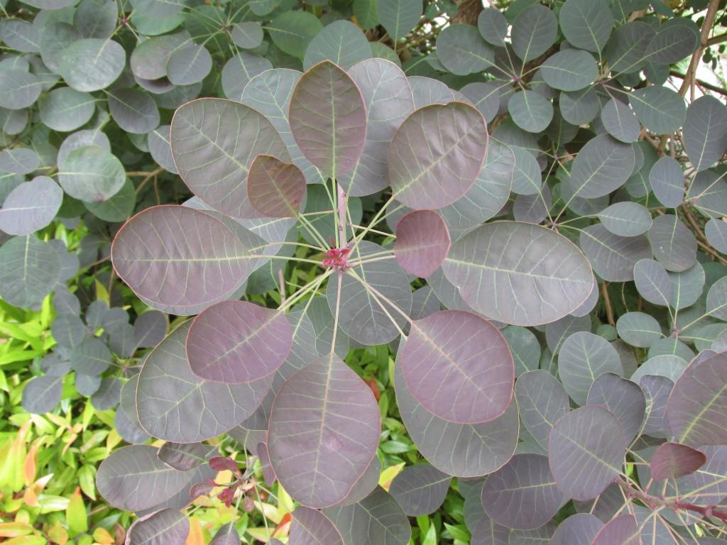blad pruikenboom