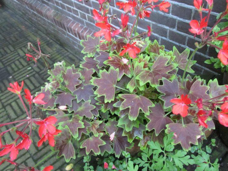 Stellar geranium: de moeite waard vanwege het blad
