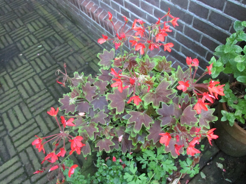 stellar geranium