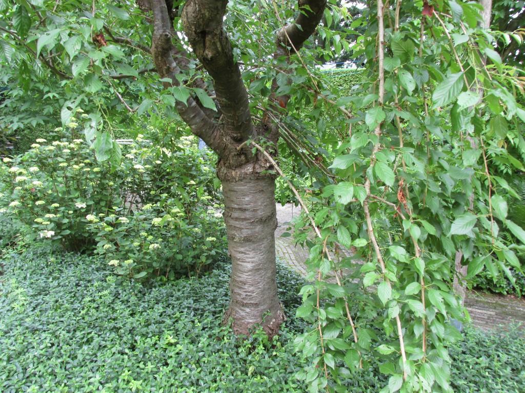 japanse sierkers prunus steenvruchtboom
