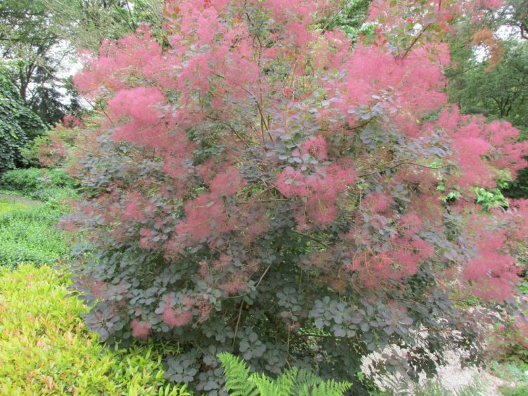 Pruikenboom: een luchtig accent in je tuin