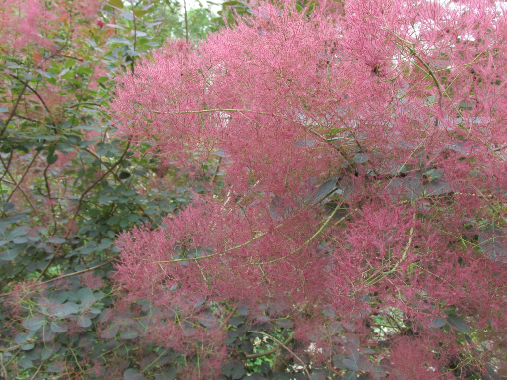 pruikenboom rood
