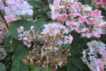 droogteschade hortensia