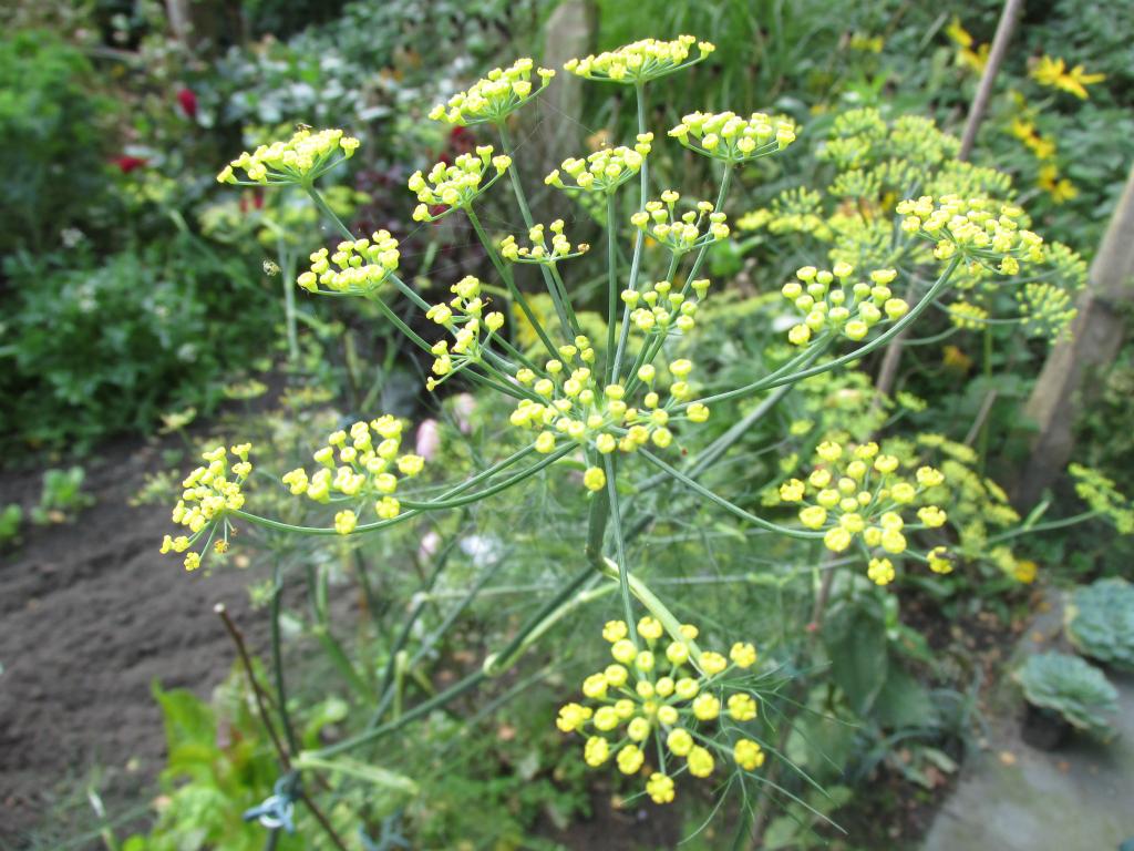 venkel bloem