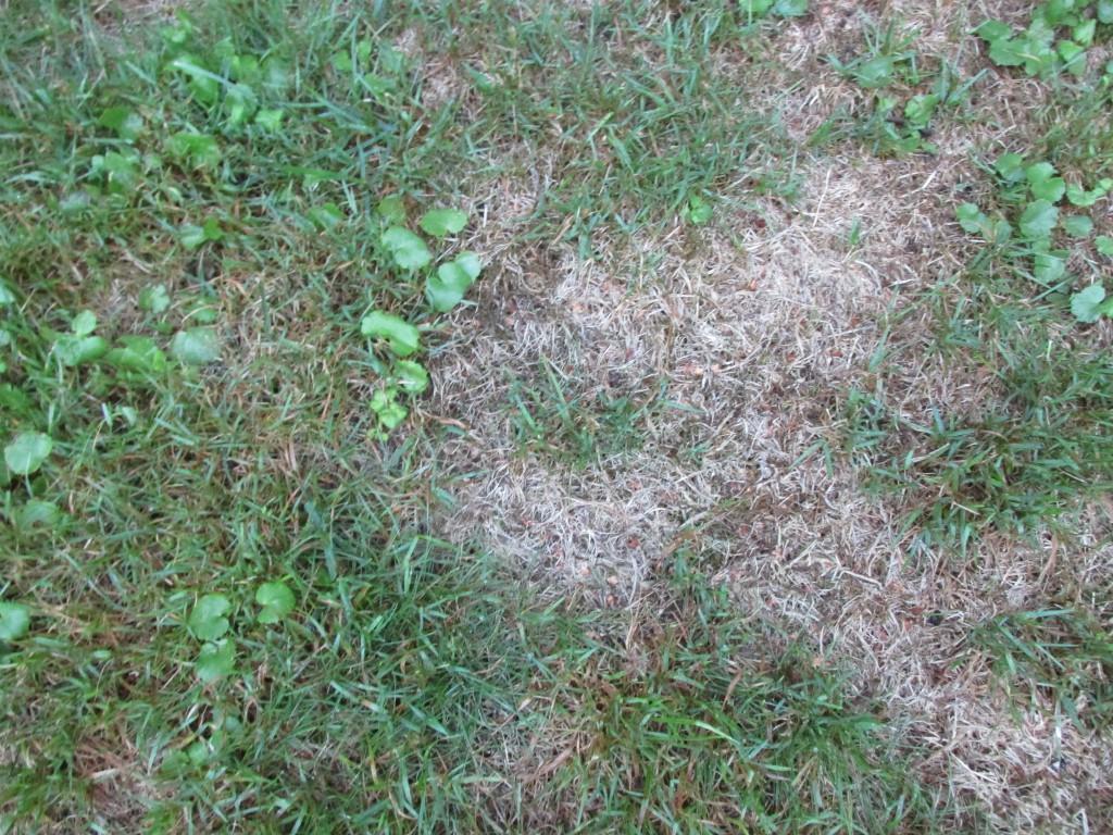 je verdroogde gazon herstellen na de droge zomer groene