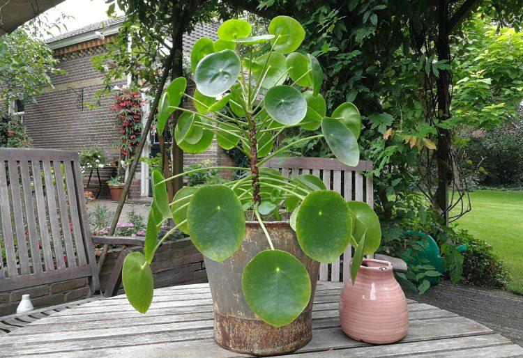 Wordt je pannenkoekenplant (pilea peperomioides) kaal aan de onderkant?