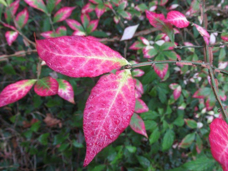 Euonymus alatus: mooi in de herfst én in de winter