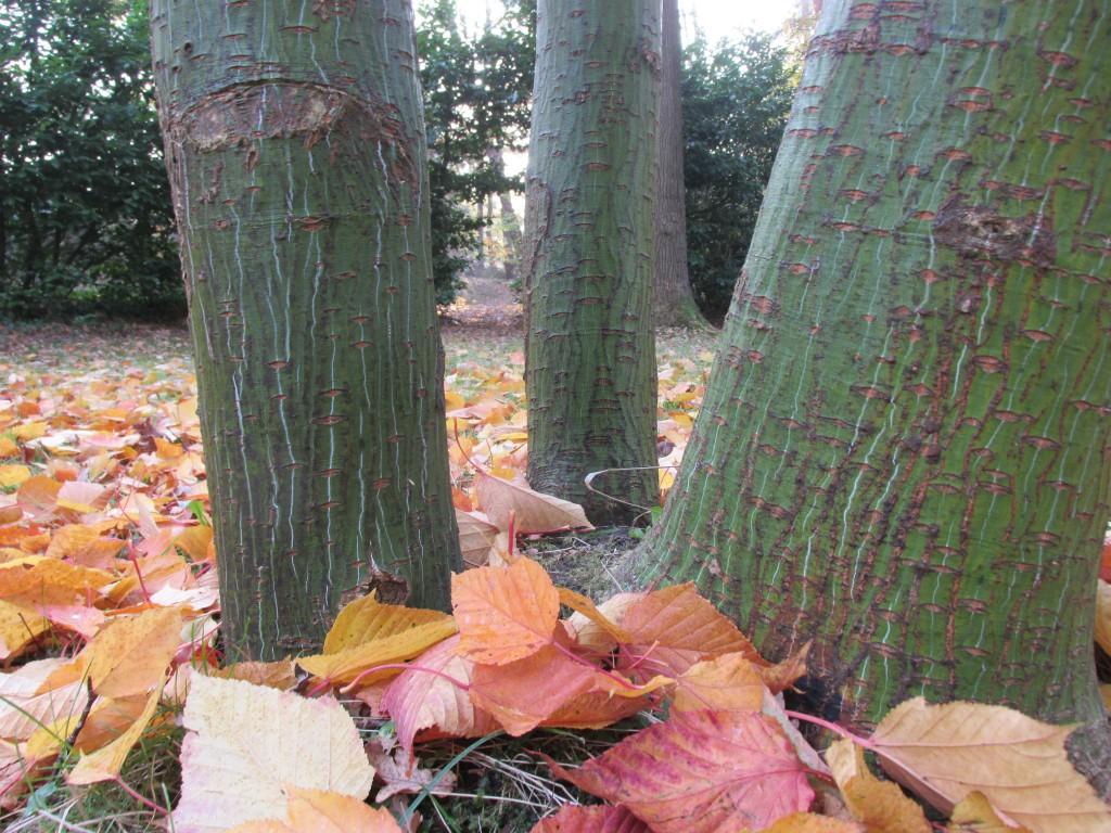 boomboeket stammen