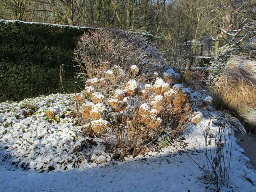 border hortensia sneeuw