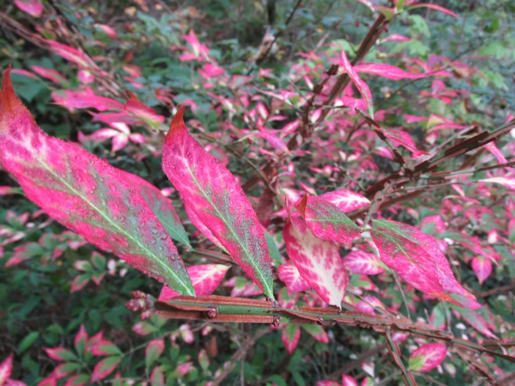 euonymus alatus blad dichtbij