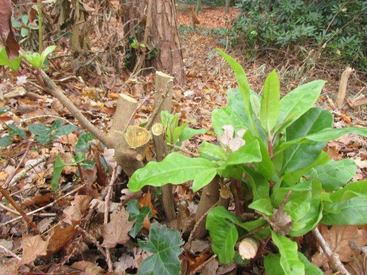 Rododendron helpen herstellen van droogteschade