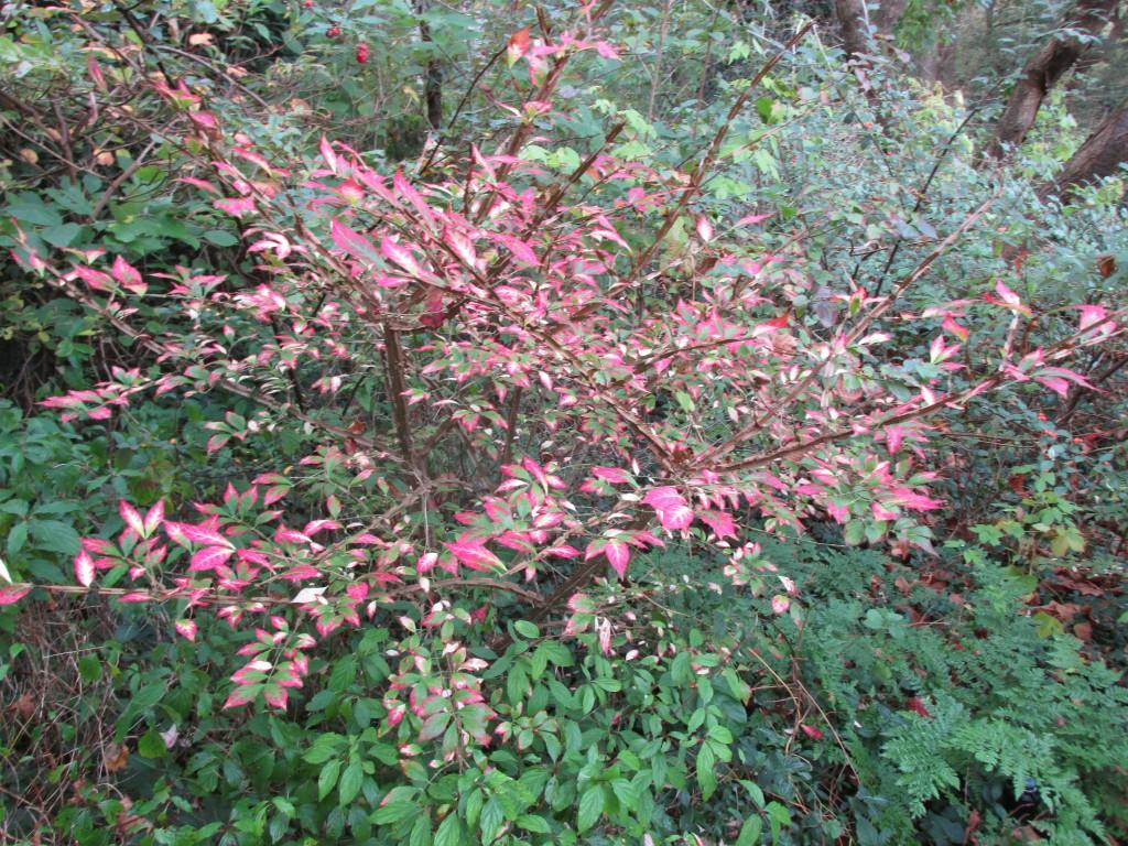 struik euonymus alatus