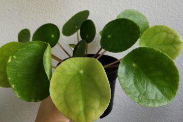 pannenkoekenplant geel