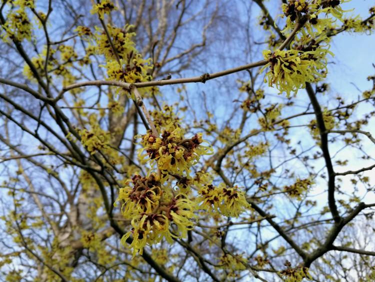 toverhazelaar bloeiend bloeien januari