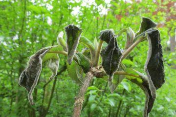 vorstschade hortensia