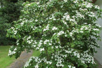 cornus kousa bloeiende struik