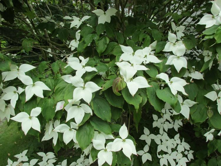 cornus kousa schutblad bloemen