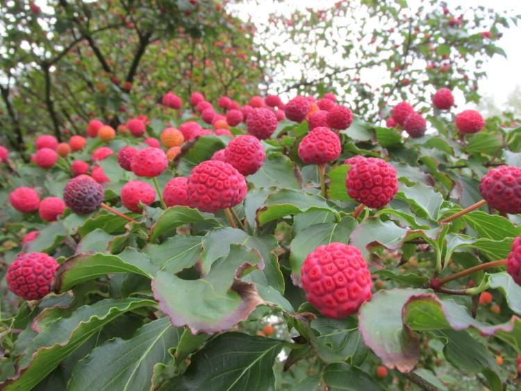 cornus kousa vruchten