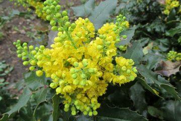 mahonia bloeiend