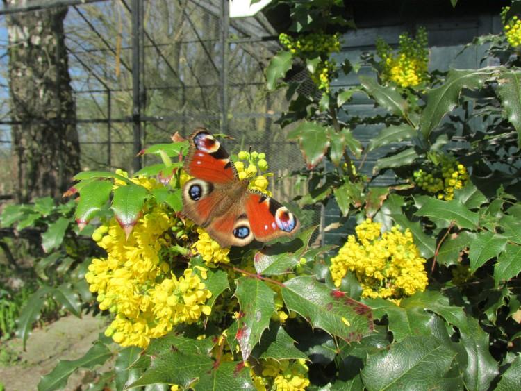 mahonia vlinder