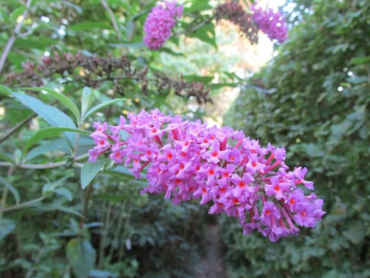 bloem vlinderstruik