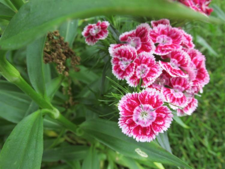duizendschoon roze lichtroze